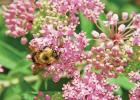 Plant a variety of bee attracting flowers like swamp milkweed, a North American native plant.